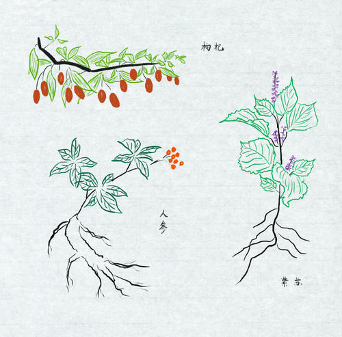 drawings of Chinese medicinal herbs